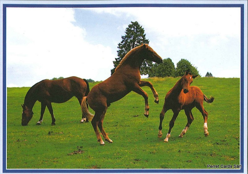 Postcards 20268 Chevaux