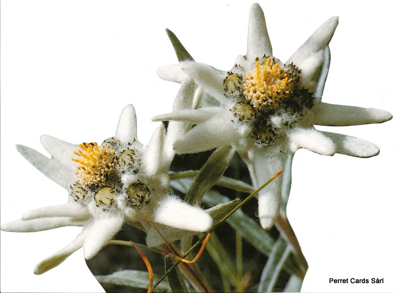 Postcards A5 Cut 01011 Edelweiss
