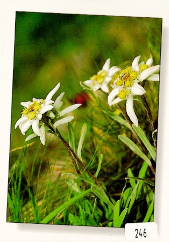 Postcards 00246 Edelweiss