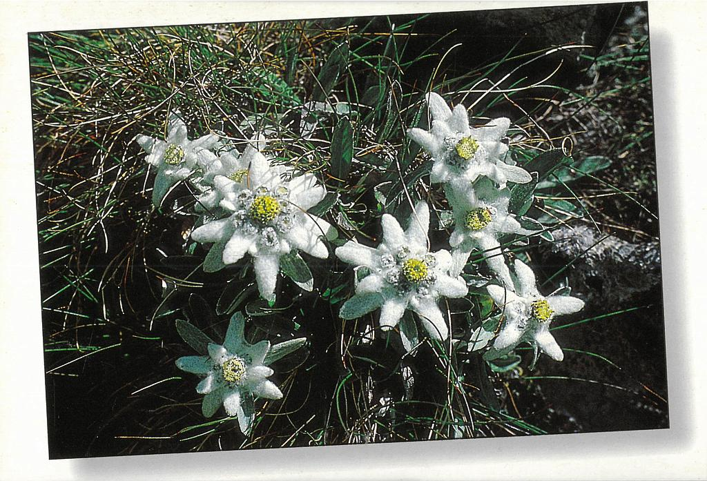 Postcards 00247 Edelweiss