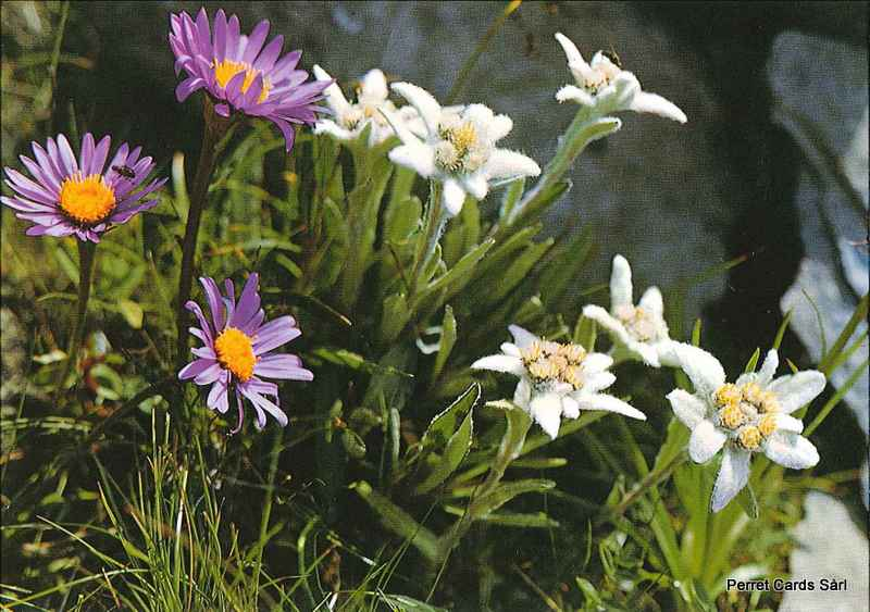 Postcards 02142 Edelweiss - Aster des Alpes