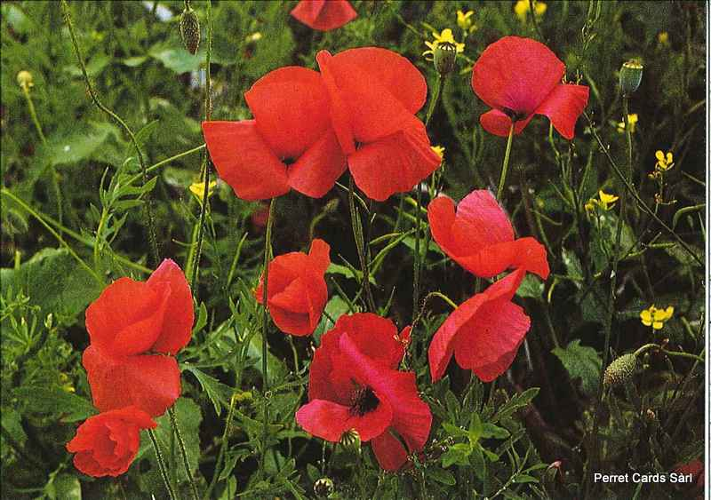 Postcards OUT 02427 N145 Coquelicot