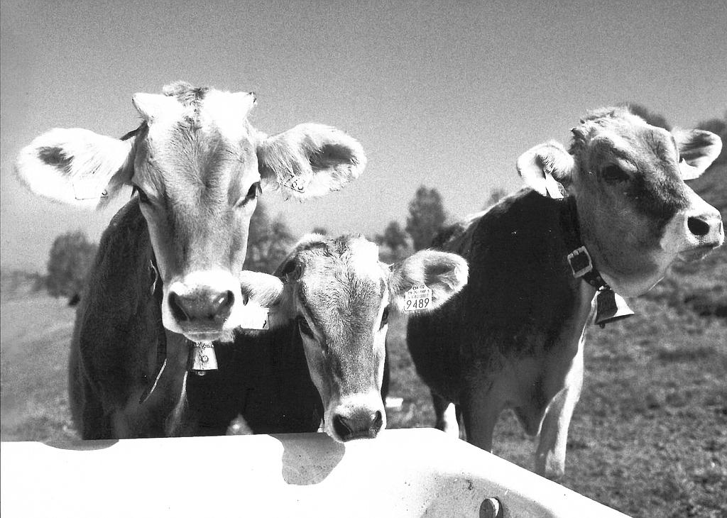 Postcards 27217 Vaches